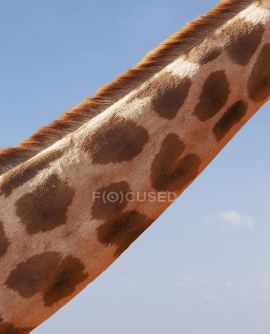 Recadrée vue de girafe cou, Parc National de Nairobi, Nairobi, Kenya, Afrique — Photo de stock