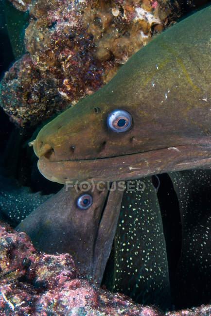 Gros plan de murènes, Seymour, Galapagos, Equateur, Amérique du Sud — Photo de stock