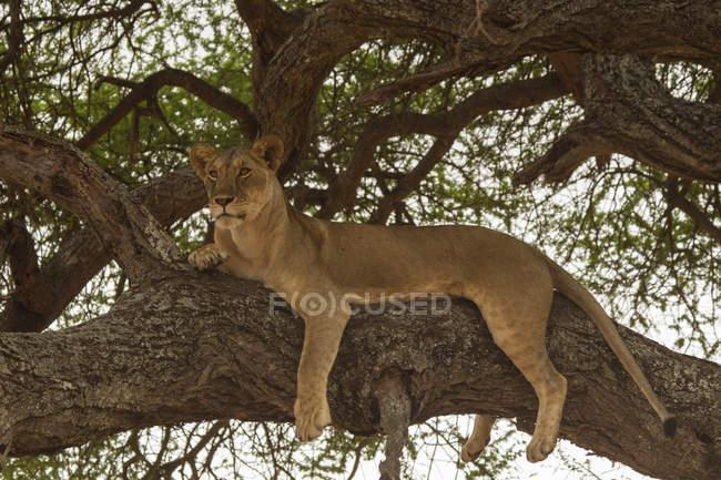 One lion resting on tree and looking away, tarangire national park, tanzania — Stock Photo