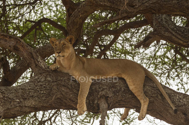 One lion resting on tree and looking away, tarangire national park, tanzania — Stock Photo