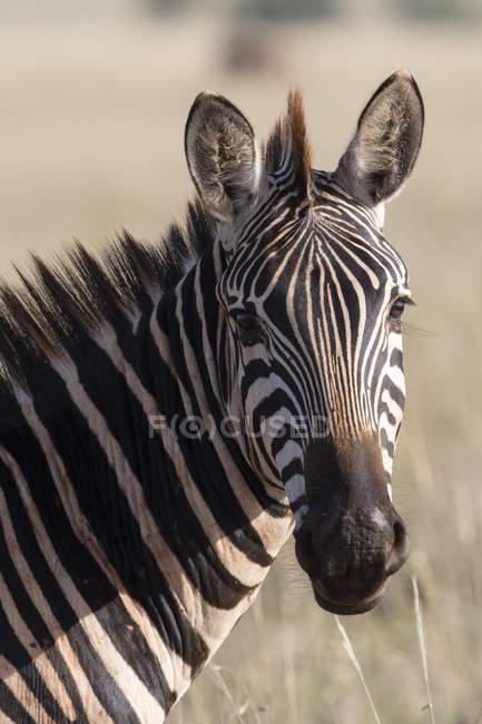 Портрет одного Зебра, дивлячись на камеру, Тсаво, Кенія — стокове фото
