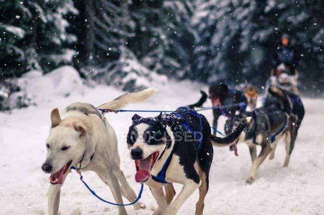 Людина у собак упряжках, Вістлері, Британська Колумбія, Канада — стокове фото