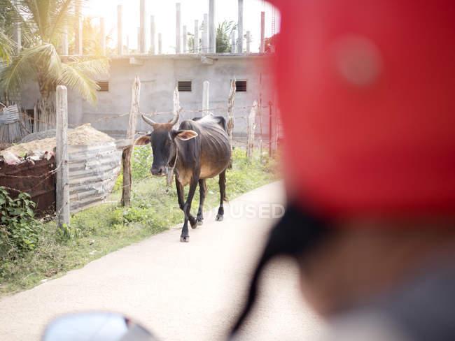 Корова блукаючих вулиці, Шрі-Ланка — стокове фото