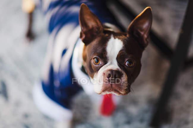 Portrait de mise au point peu profonds du terrier de boston portant des costumes — Photo de stock
