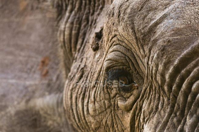 Gros plan le portrait de l'éléphant d'Afrique au Tsavo, Kenya — Photo de stock
