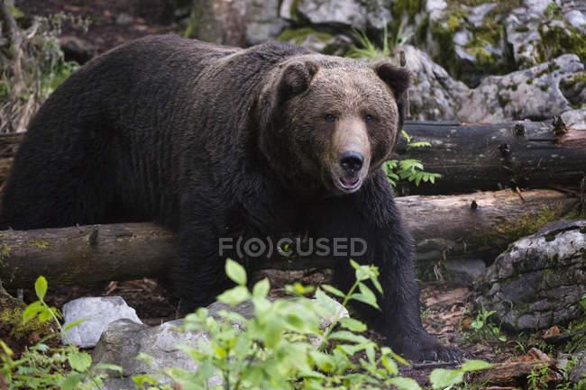 Европейский бурый медведь, Markovec, коммуна Bohinj, Словения, Европа — стоковое фото