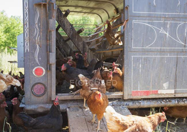 Cometa d'oro e galline stellate nere al pollaio in allevamento biologico all'aperto — Foto stock