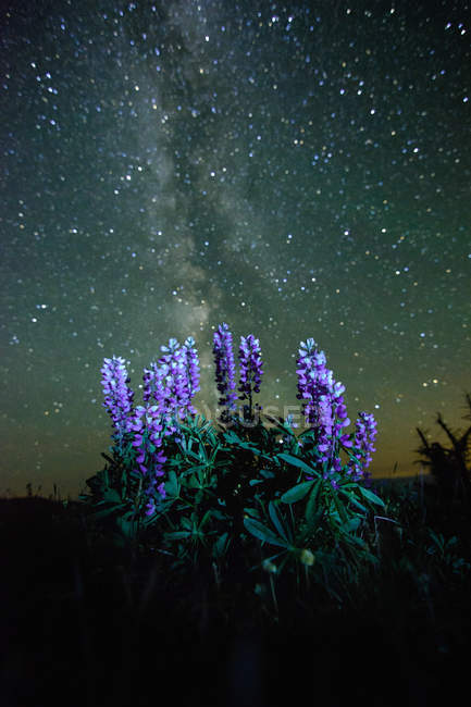 Lupins growing in foreground, Milky Way visible in night sky, Nickel Plate Provincial Park, Penticton, British Columbia, Canada — Stock Photo