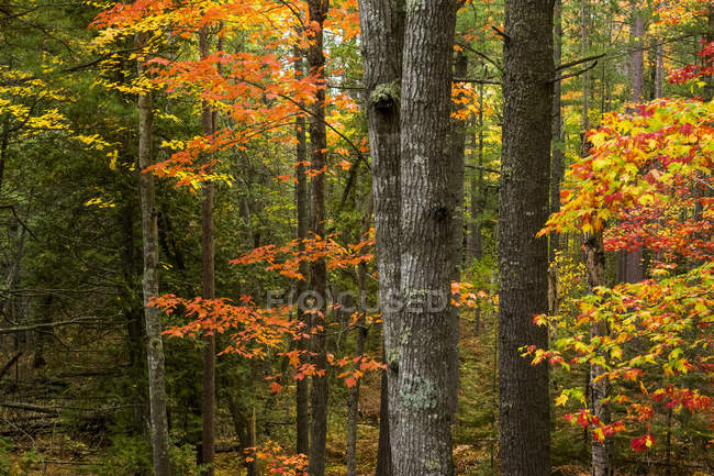 Trees in woodland in autumn, Harbor Springs, Michigan, United States — Stock Photo