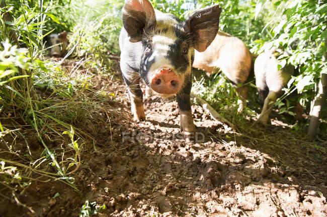 Retrato de cerdos patrimoniales en granja ecológica de crianza libre - foto de stock