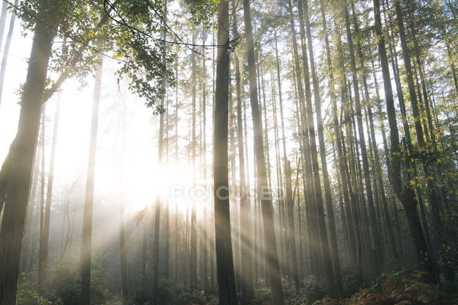 Sunlight through trees in forest, Bainbridge, Washington, United States — Stock Photo