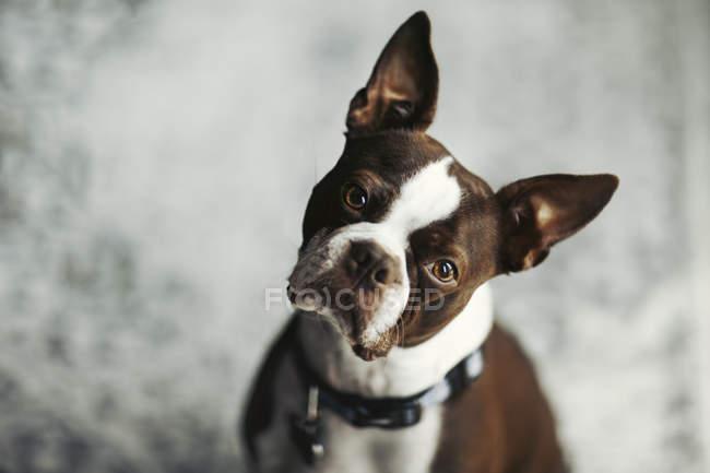 Ritratto di Boston terrier, testa a cazzi guardando la macchina fotografica — Foto stock