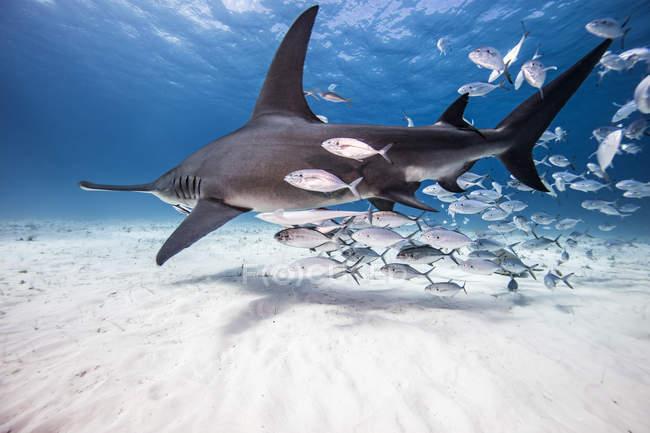 Vue sous-marine de grand requin et poissons-appâts, Bahamas — Photo de stock