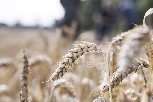 Weizen wächst im Feld, Nahaufnahme — Stockfoto