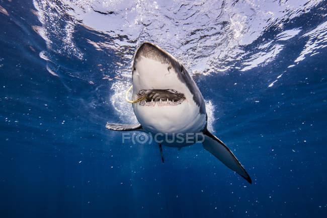 Подводный вид на белую акулу с приманкой во рту, Кампече, Мексика — стоковое фото