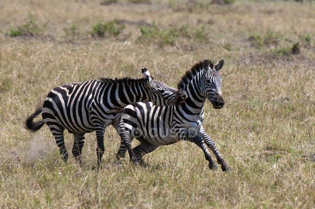 Два зебр роботи і гри в Масаї Мара, Кенія — стокове фото