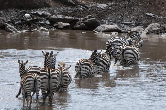 Зебри, перетинаючи річку в Масаї Мара, Кенія — стокове фото