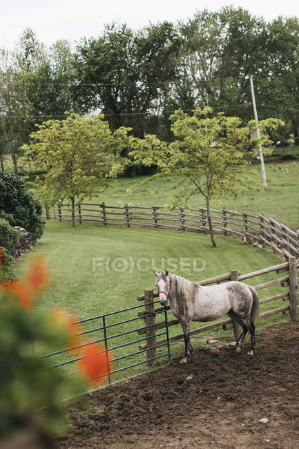 High angle view of dapple grey horse tied to paddock fence — Stock Photo