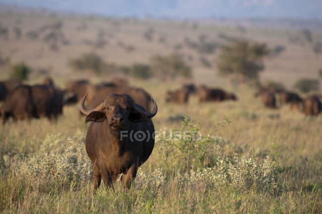Африканских буйволов на поле, Lualenyi Game Reserve, Кения — стоковое фото