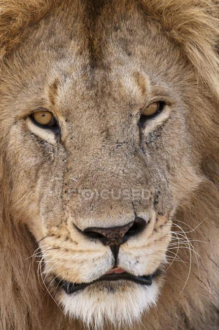 Close up of Lion in Masai Mara, Kenya — Stock Photo