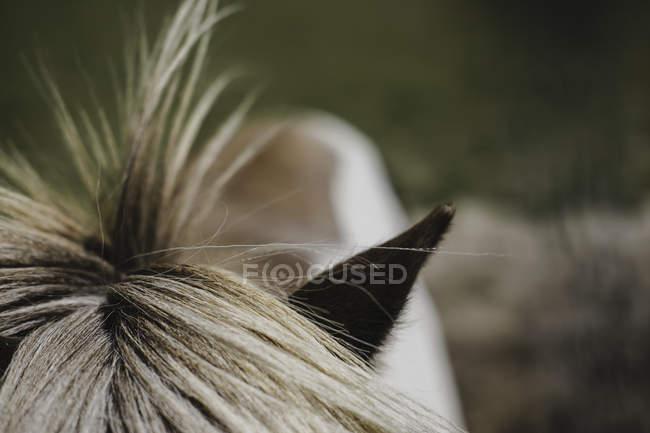 Erhöhte Ansicht der Pony Mähne und Ohr abgeschnitten — Stockfoto