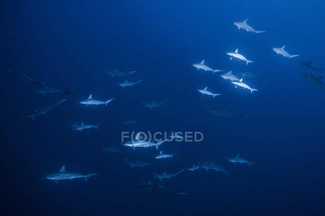 Haie schwimmen im Meer, Socorro, Baja California — Stockfoto