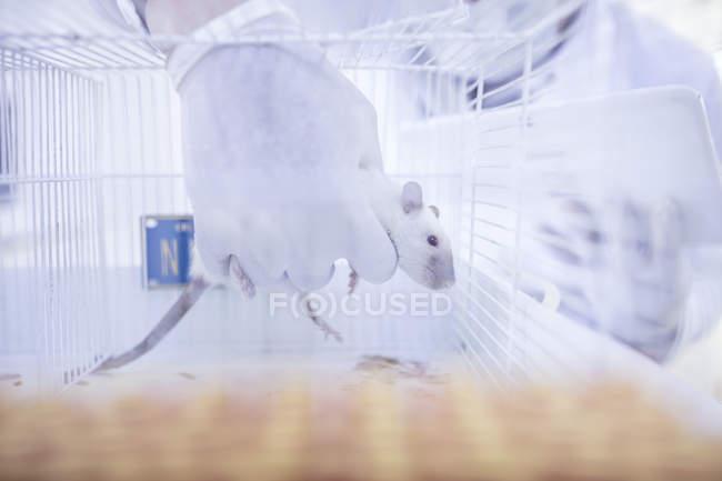 Travailleur de laboratoire levant rat blanc de la cage — Photo de stock