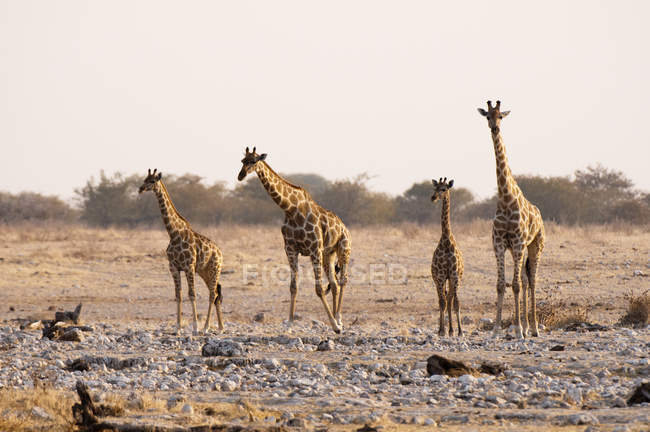 Girafes marchant au Parc National d'Etosha, Namibie — Photo de stock