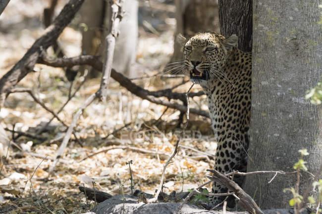 Leopardo guardando fuori dall'albero nel Delta dell'Okavango, Botswana — Foto stock