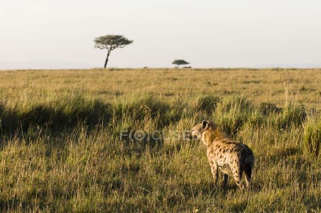 Пятнистая гиена, ходьба по полю с травой, Масаи Мара Национальный заповедник, Кения — стоковое фото