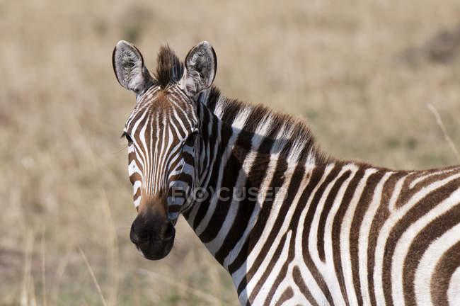 Un Zèbre regardant la caméra, Masai Mara, Kenya — Photo de stock