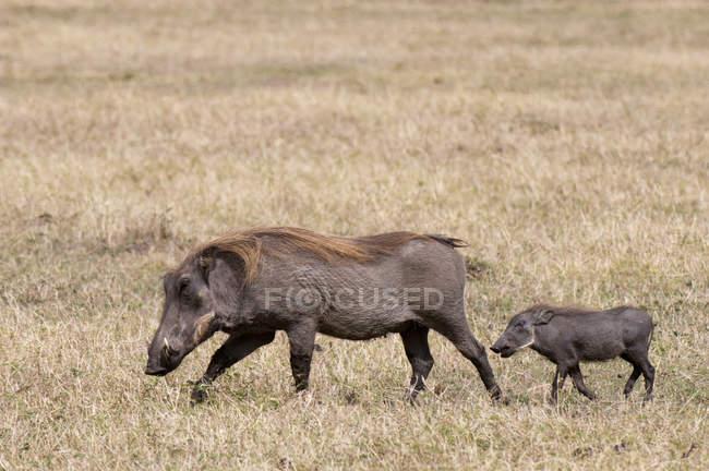 Бородавочник і дитинча ходьба на траві, Масаї Мара, Кенія — стокове фото