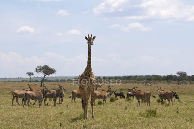 Girafe du Masaï (Giraffa camelopardalis), Masai Mara, Kenya . — Photo de stock