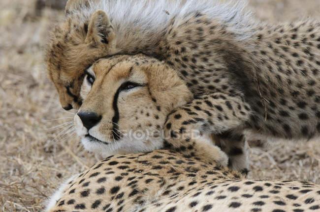 Милий дитинча Гепард, граючи з матір'ю, Масаі Мара Національний заповідник, Кенія — стокове фото
