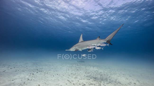 Vue sous-marine de grand requin nageant au-dessus des fonds marins, Bahamas — Photo de stock