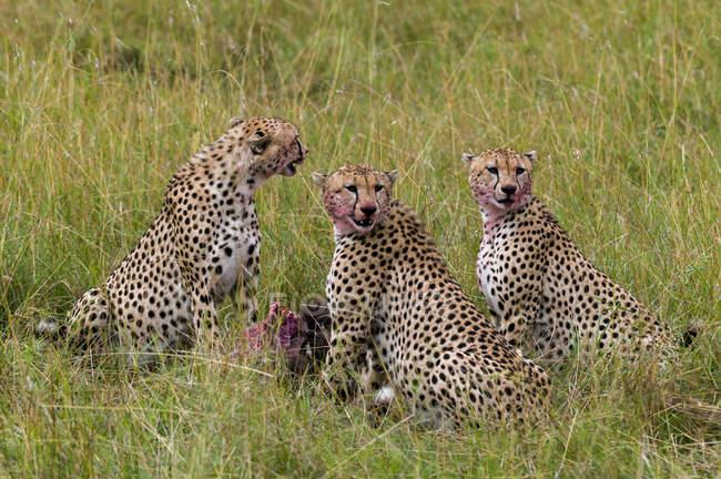 Geparden fressen Gnus auf Gras, Masai-Mara-Nationalpark, Kenia — Stockfoto