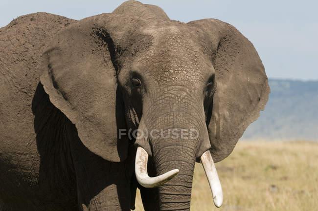 Один африканский слон, стоящий в Национальном заповеднике Масаи Мара, Кения — стоковое фото