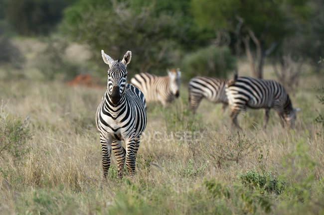 Subventions de zèbres broutant dans Lualenyi Game Reserve, Kenya — Photo de stock