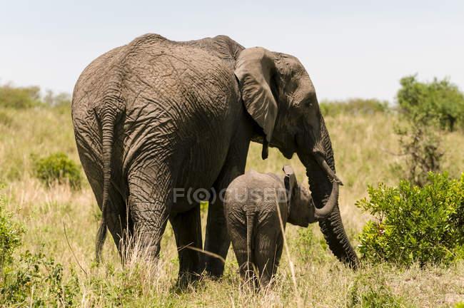 Африканський слон і дитинча ходьба на траві в Масаї Мара Національний заповідник, Кенія — стокове фото