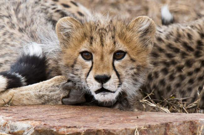 Милий дитинча, Масаі Мара Національний заповідник, Гепард Кенії — стокове фото