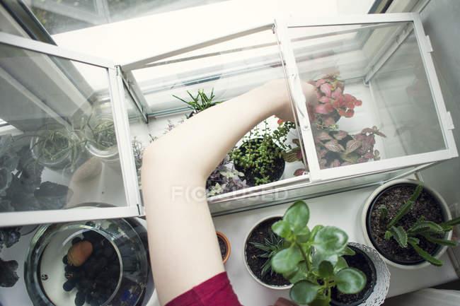Braccio di giovane donna che rimuove la pianta in vaso dal davanzale della finestra terrario — Foto stock