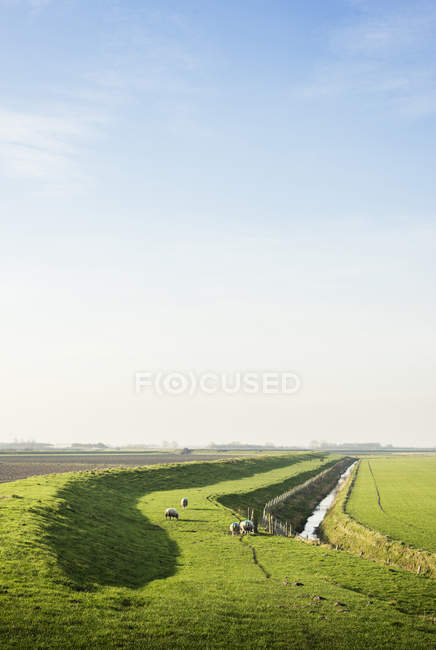 Ovelhas pastando ao lado de um dique no inverno, Arnemuiden, Zelândia, Holanda — Fotografia de Stock