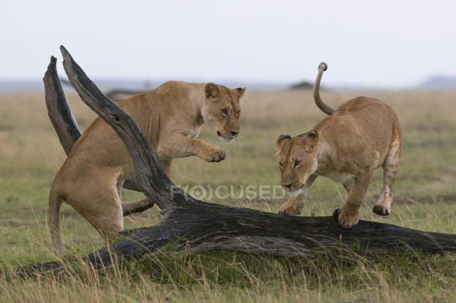 Двома молодими левиці, граючи в Масаї Мара Національний заповідник, Кенія — стокове фото
