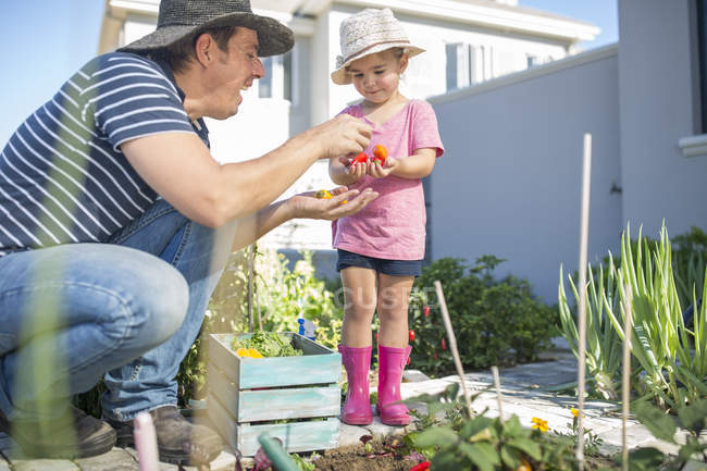 Pai e filha no jardim pegando tomates — Fotografia de Stock