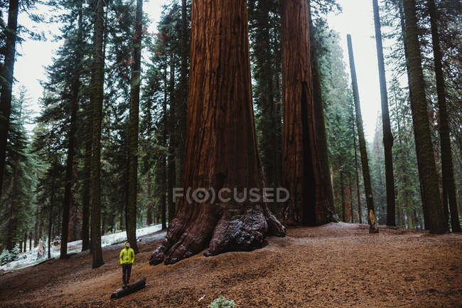 Homem caminhante olhando para árvores sequoia gigantes em Sequoia National Park, Califórnia, EUA — Fotografia de Stock