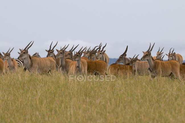 Elands on field in Masai Mara National Reserve, Kenya — Stock Photo