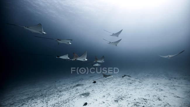 Подводный вид на пятнистые орлиные лучи, плавающие вблизи морского дна, Канкун, Кинтана-Ру, Мексика — стоковое фото