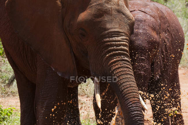 Two Elephants playing in water in Tsavo East National Park, Kenya — Stock Photo