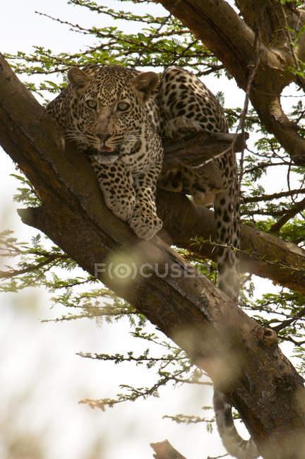Леопард лежащий на дерево, Масаи Мара, Кения — стоковое фото