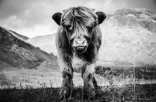 Портрет highland корова теля в сільській краєвид, B&W — стокове фото